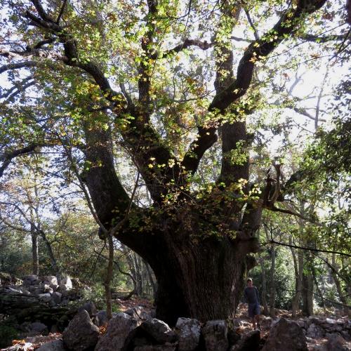 St Jeannet, Le gros chêne, randonnée