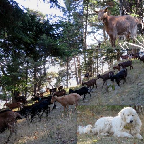 Peira cava, balade champignons, troupeau chèvres, mercantour