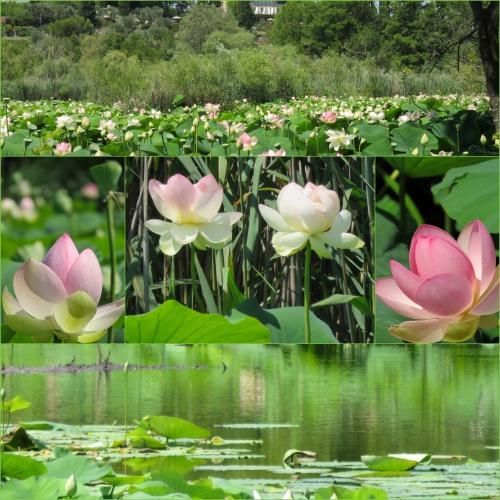 Mougins Monumental, Mougins vieux village, Etang Fontmerle, Lotus de Fontmerle,