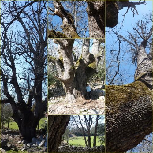 St Jeannet, Baou de la Gaude, Gros chêne du Baou de la Gaude
